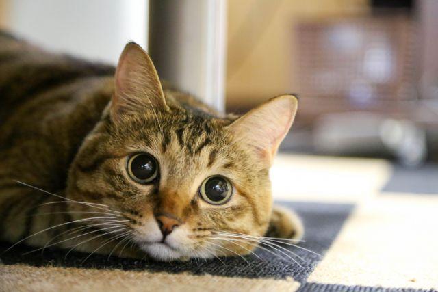 猫を用いた動物兵器