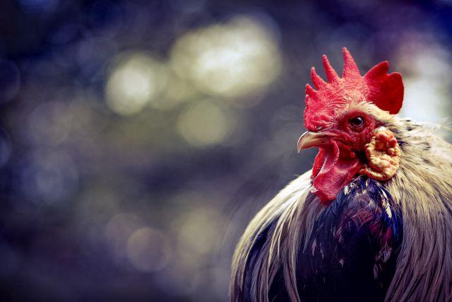 鶏を用いた動物兵器