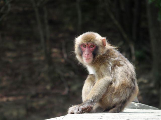 モンキーマンの正体はタダの猿?