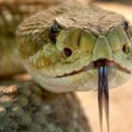 人食い大蛇