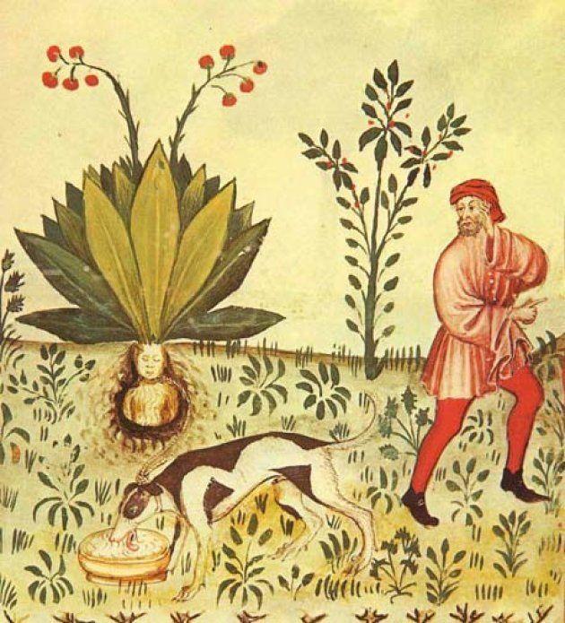 マンドラゴラの歴史